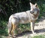 Coyotes in Lakewood