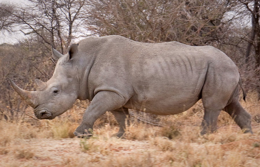White+Rhino+in+natural+habitat.+