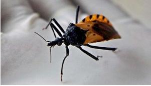 The 'Kissing Bug' Disease