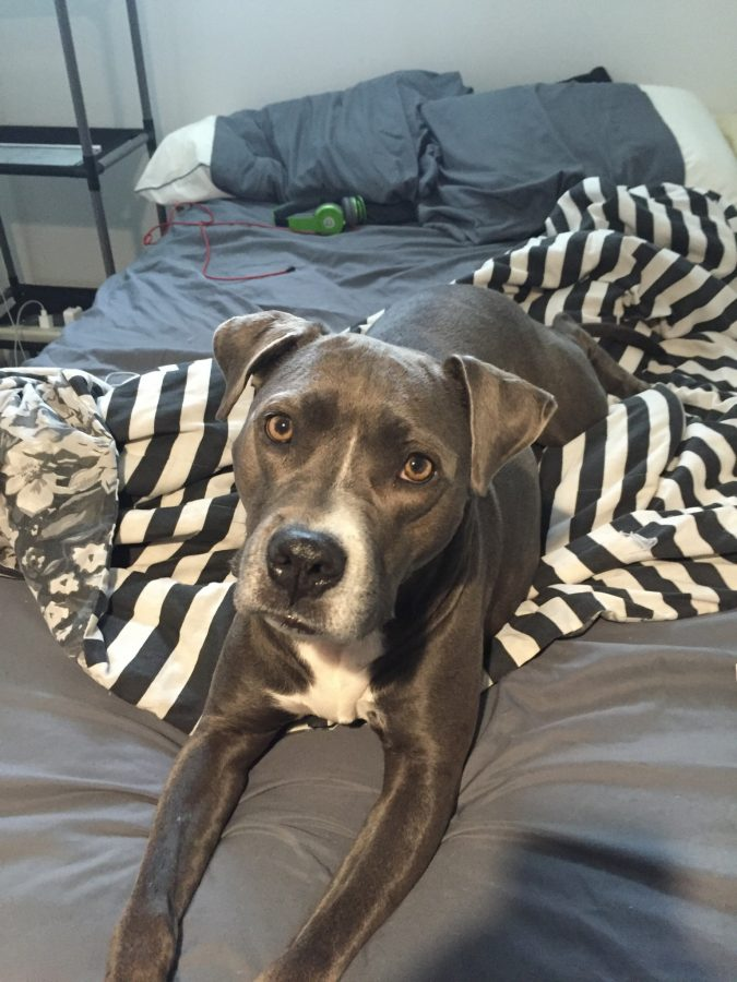 Why Lakewood Should Allow Pit Bulls