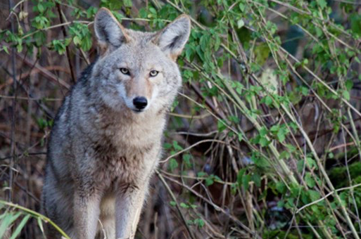 Warning!! Coyotes are killing dogs in Lakewood