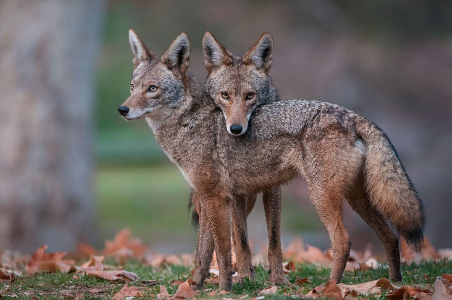 Police warn pet owners about coyote attacks in Lakewood.