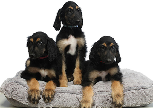 Cloning Dogs