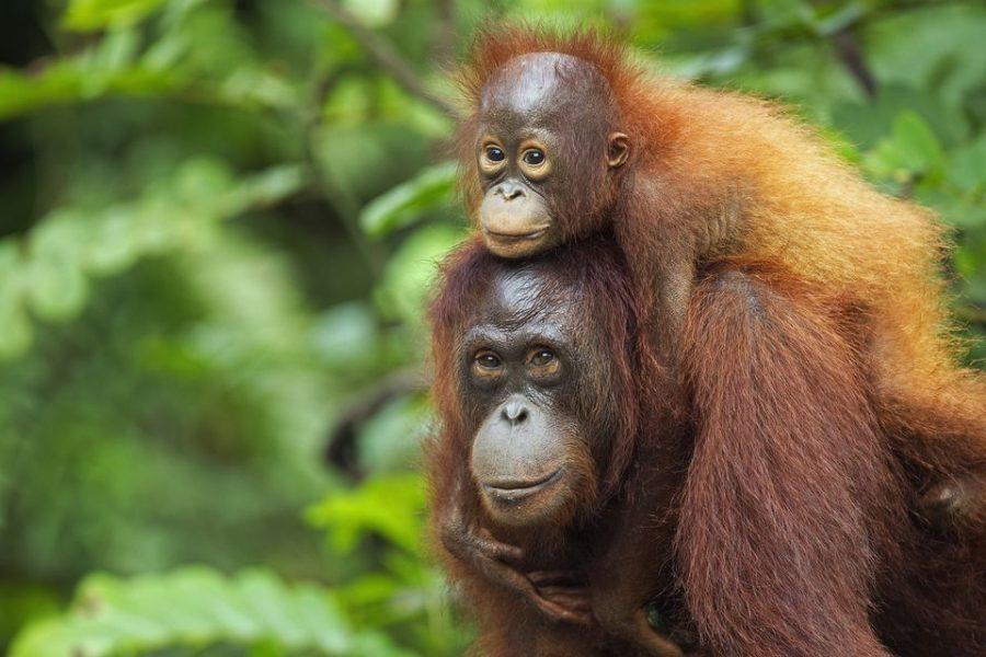 Borneo's Orangutan Population Declining
