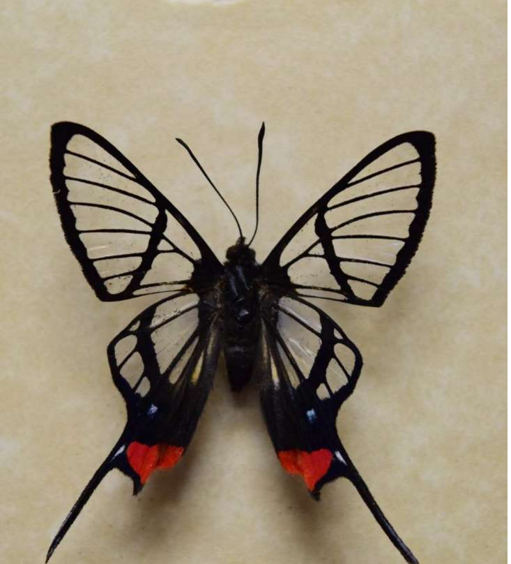 Butterfly's Transparent Wings Could Save People's Vision