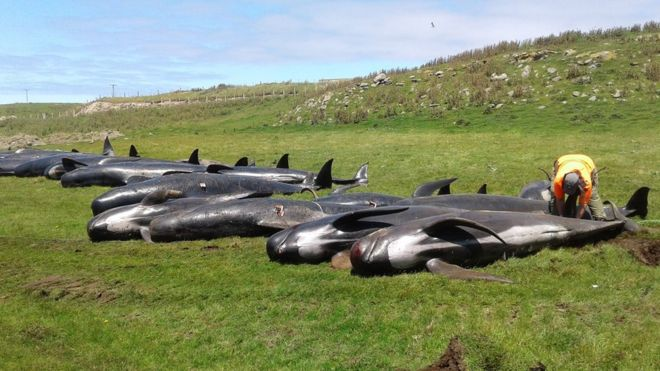 Whales Stranded in New Zealand