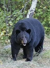 Bear Attacks Woman in Pennsylvania