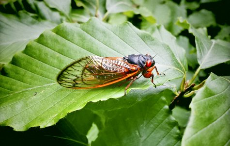 """Seventeen Year Cicada On A Leaf From Virginia, USA.Shot with cell phone."""